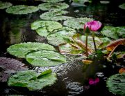 WATER-LILY-DURING-RAIN-1024x791