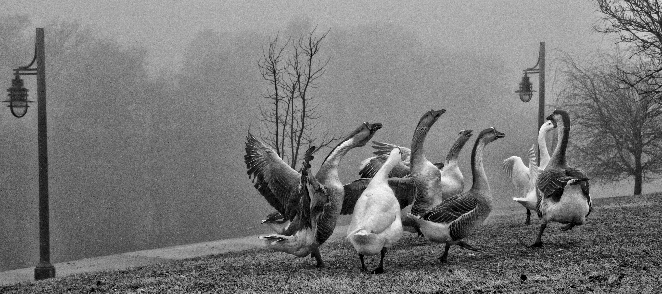 GEESE_WEATHERED_DOWN