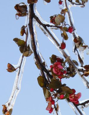 BLOSSOMS20IN20ICE203202009